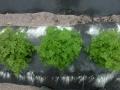 Cerfoglio piante 1