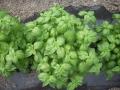Basilico pianta