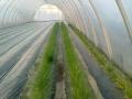 Cipollina filari