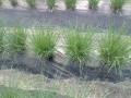 Cipollina piante