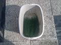 Cipollina tagliata