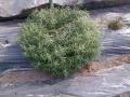 Dragoncello pianta