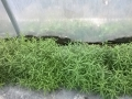 Dragoncello piante