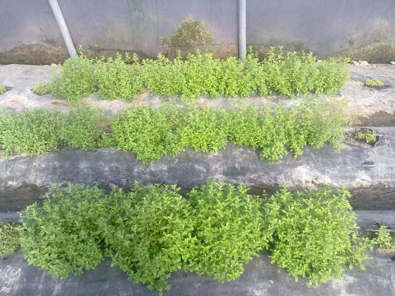 Maggiorana piante