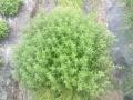 Maggiorana pianta