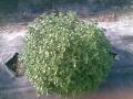 Origano pianta