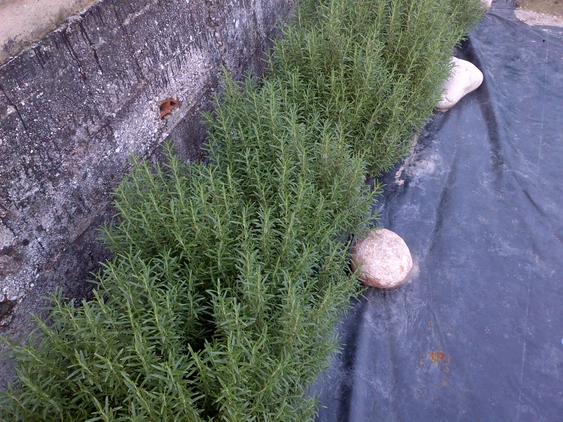 Rosmarino piante
