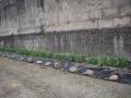 Salvia filare