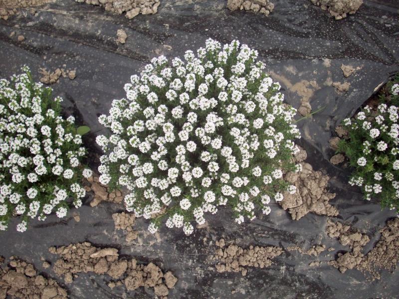 Timo pianta fiorita