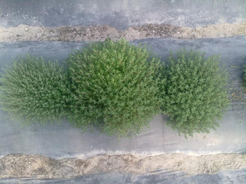 Timo piante